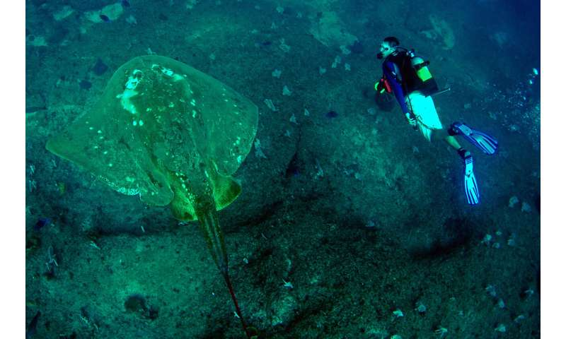 First study of world's largest marine stingray reveals long-distance migration
