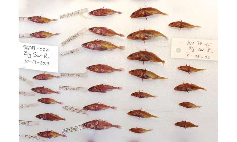 Fish in California estuaries are evolving as climate change alters their habitat