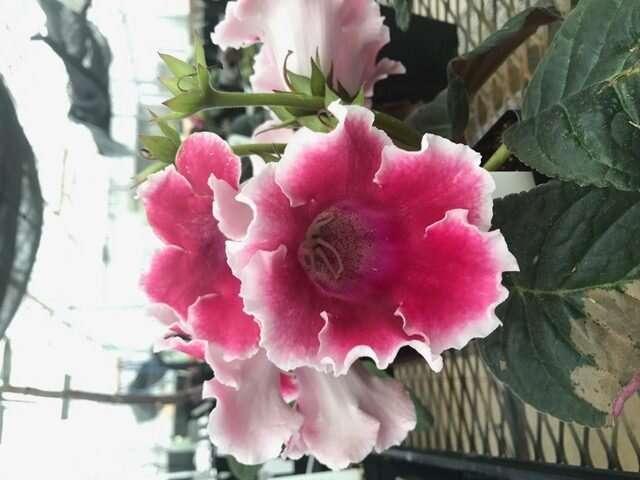 Siguiendo los pasos de Darwin: comprender la evolución de las plantas de la gloxinia de floristería