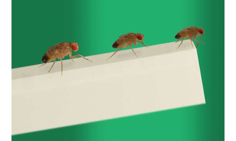 Fruit flies learn their body size once for an entire lifetime