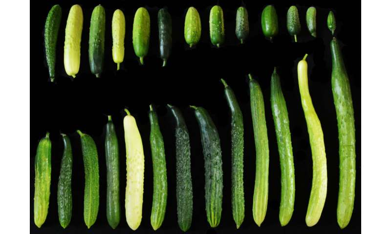 Genetic variant linked to cucumber fruit length
