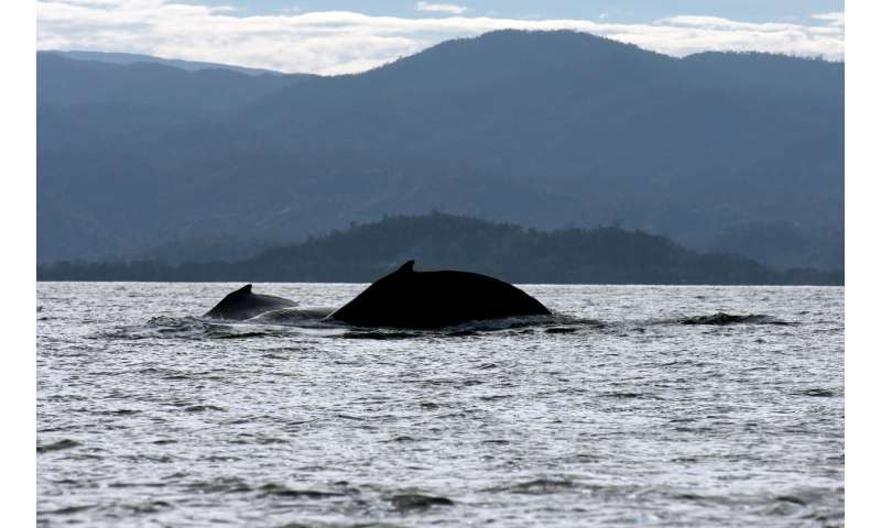 Giant singers from neighboring oceans share song parts over time