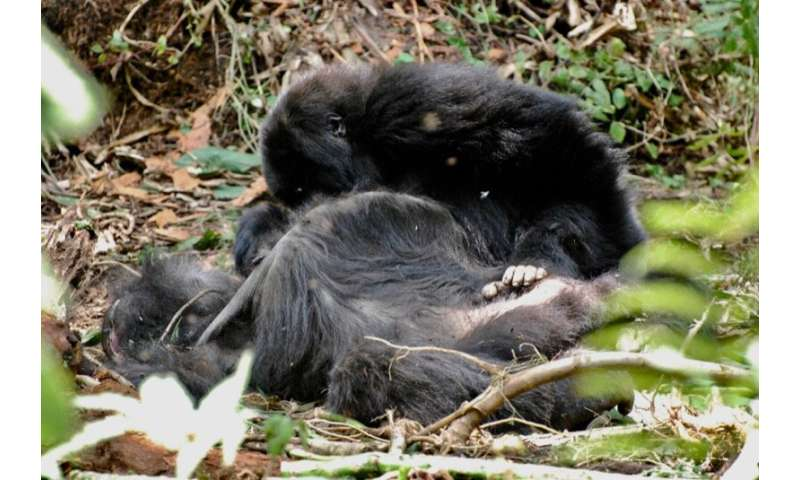 Gorillas gather around and groom their dead
