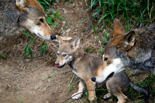 Government-funded study says red wolves are distinct species