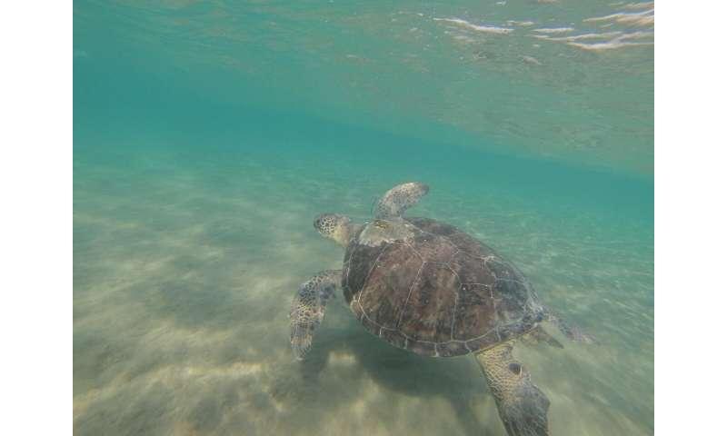 Green turtles eat plastic that looks like their food