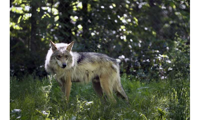 Groups: Saving Mexican gray wolves requires new approach