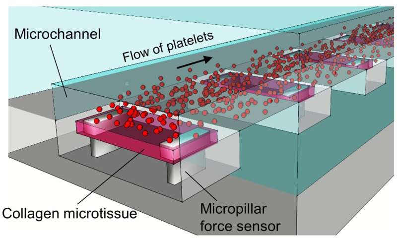 How do clots become firm in the presence of blood flow? A new engineered tissue model has answers