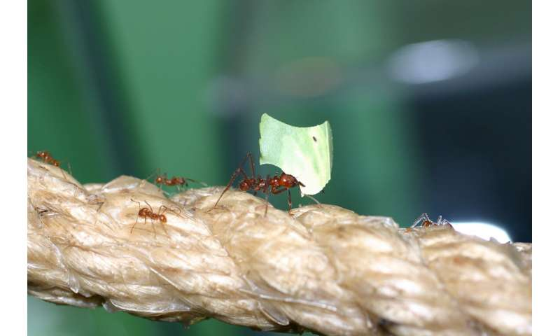 How fungus-farming ants could help solve our antibiotic resistance problem