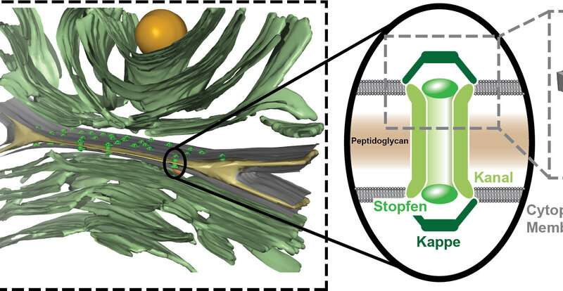 How multicellular cyanobacteria transport molecules