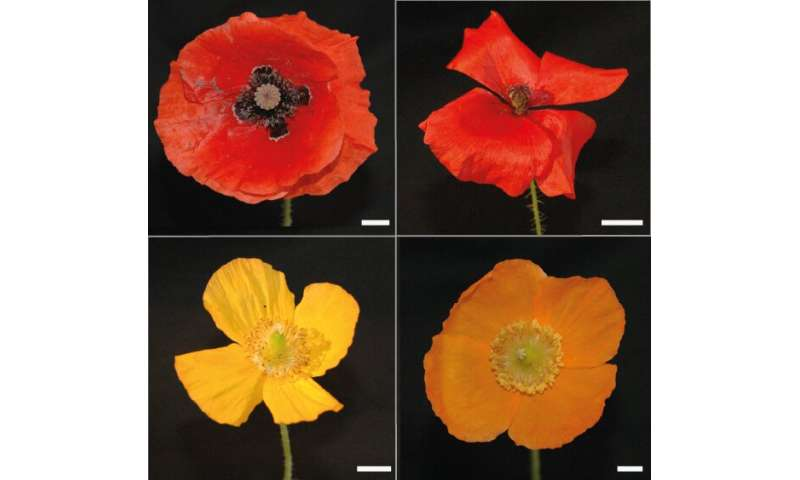 How poppy flowers get those vibrant colours that entice insects