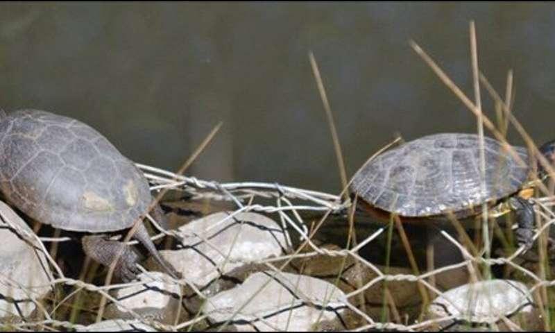 چگونه مهاجمان دوتایی لاک پشت های اصلی کالیفرنیا را آزار می دهند