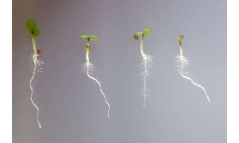 How roots grow hair
