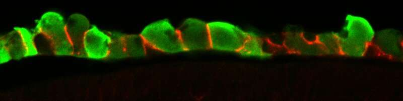How stem cells self-organize in the developing embryo