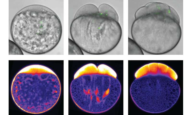 How the cytoplasm separates from the yolk