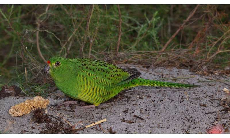 How we're helping the western ground parrot survive climate change