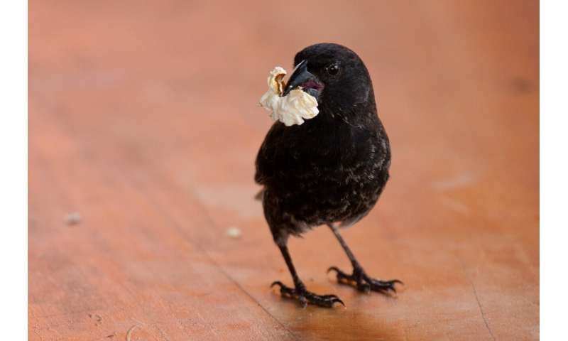 Human activity can influence the gut microbiota of Darwin's finches in the Galapagos