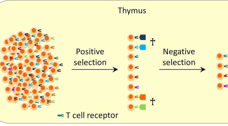 Identification of lymph node cells that may play important roles in immune tolerance