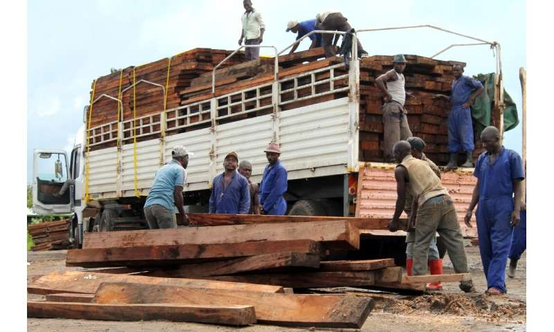 Illegal logging already threatens the mukula tree with extinction in neighbouring Zambia