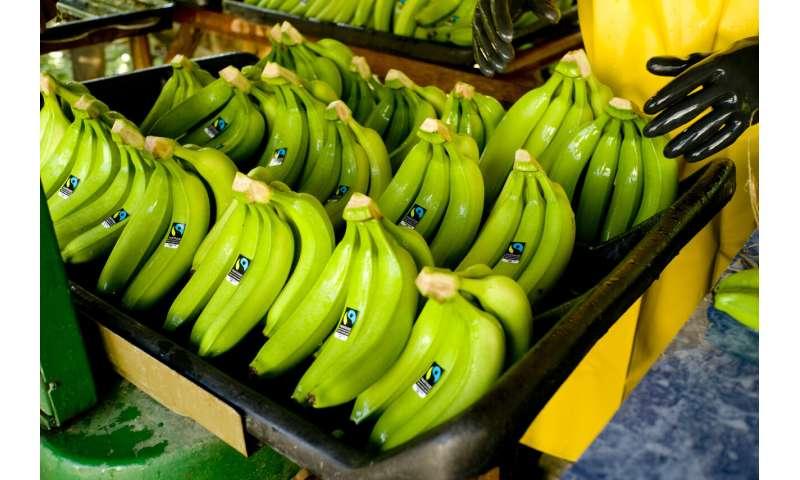 Se revela el impacto del cambio climático en los rendimientos mundiales de banano