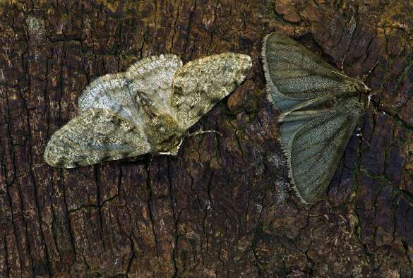 'Industrial melanism' linked to same gene in three moth species