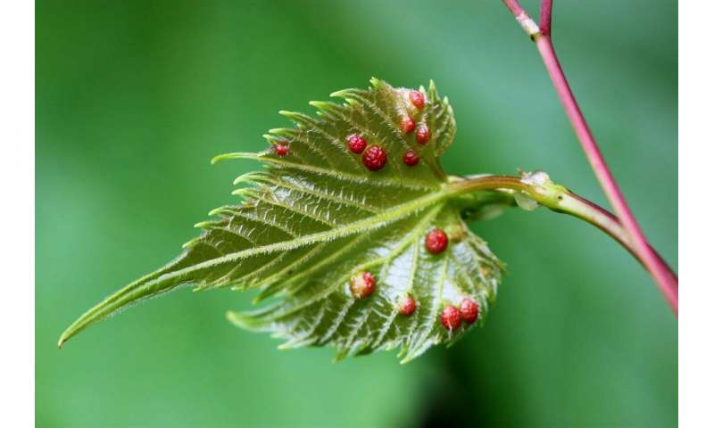 Insects hijack reproductive genes of grape vines to create own living space on plant