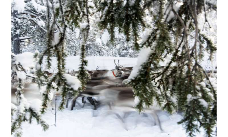In Sweden's Arctic, global warming threatens reindeer herds