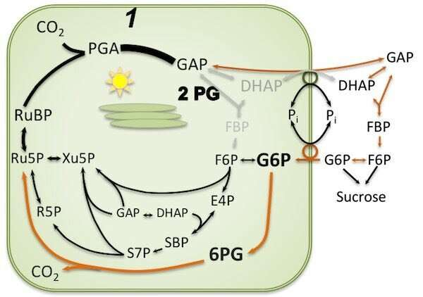 Keeping Plants Nourished: The Workings of a Photosynthesis Backup System