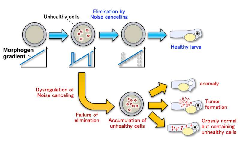 Keep quiet or be eliminated: How cell competition modulates morphogen gradients