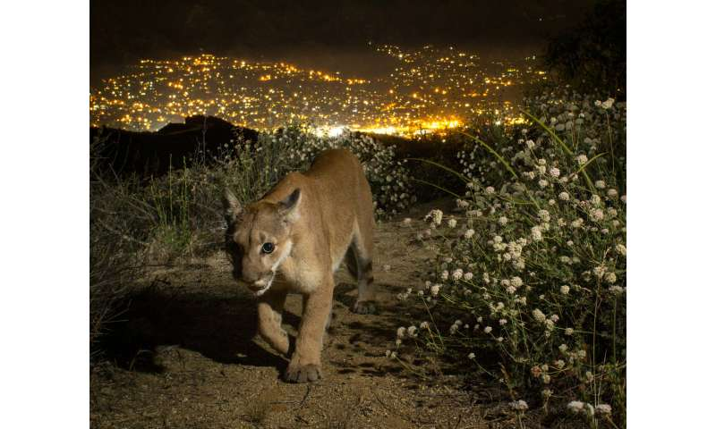 Local extinction of Southern California mountain lions possible within 50 years