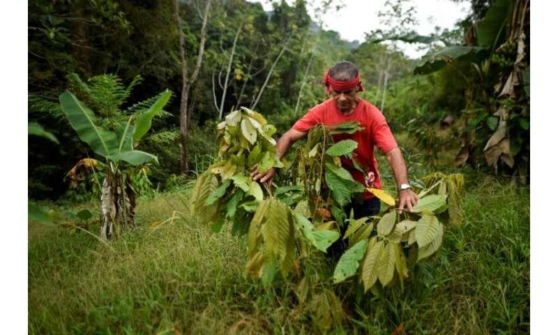 Luis Portilla checks a cocoa plant at his farm in Colombias Catatumbo region—Portilla eliminated his illicit coca crops and acce