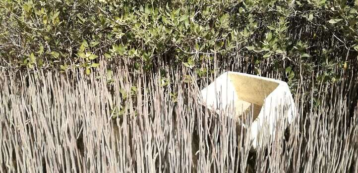 Mangrove forests trap floating litter