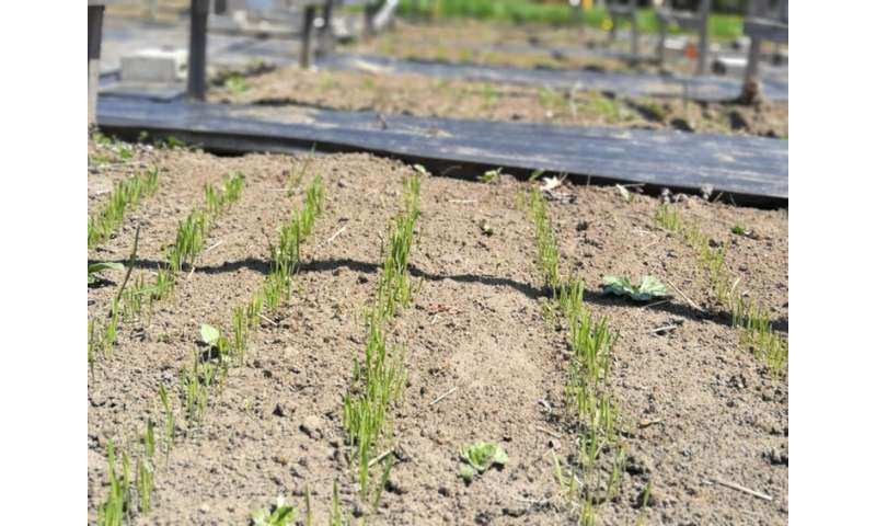 Microbial aromas might save crops from drought
