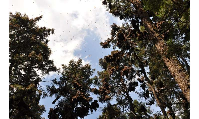 Monarch butterflies rely on temperature-sensitive internal timer while overwintering