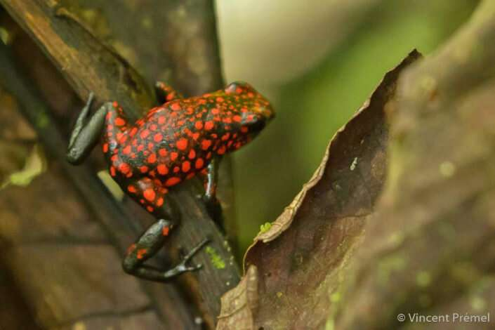 Motherly poison frogs shed light on maternal brain