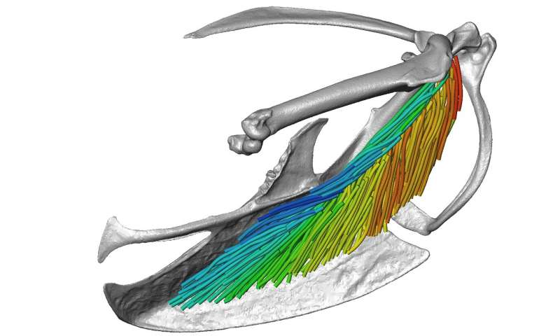 New 3D imaging and visualization technique provides detailed views of muscle architecture