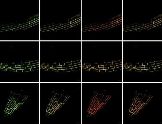 New biosensor provides insight into the stress behaviour of plants