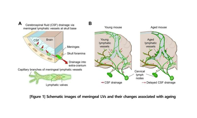 Newly identified meningeal lymphatic vessels answers key questions about brain clearance