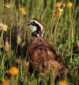 New online, interactive atlas gives comprehensive view of Texas quail decline