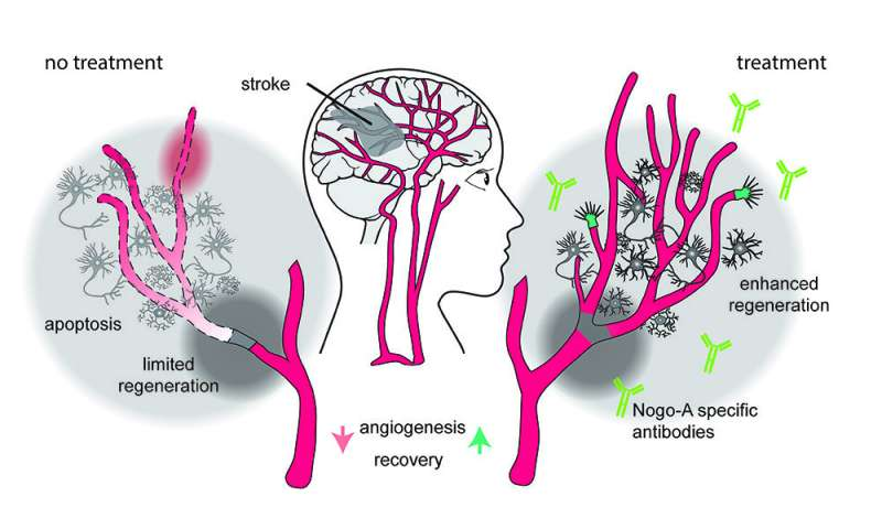 New therapy promotes vascular repair following stroke