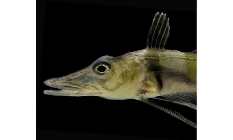 Oregon research team helps complete genome of Antarctic blackfin icefish