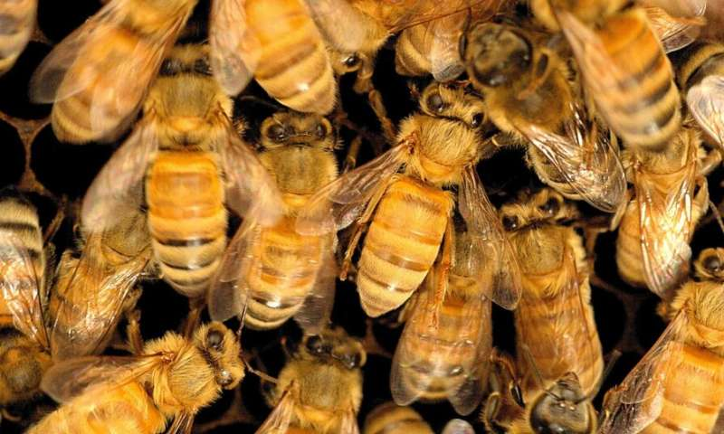Pesticide cocktail can harm honey bees