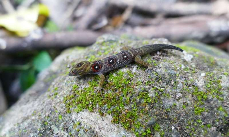 Rare Caribbean gecko given highest level of protection under CITES