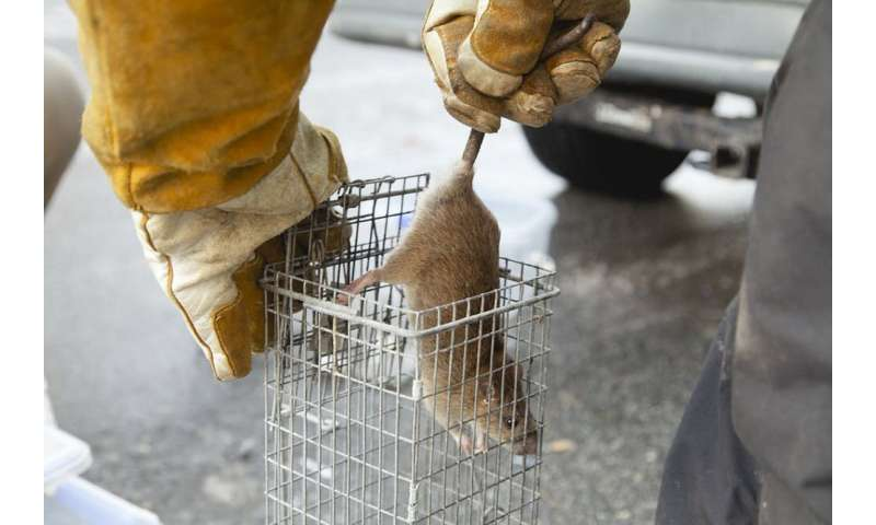 Rat detective uses DNA to uncover how rats scurry around cities