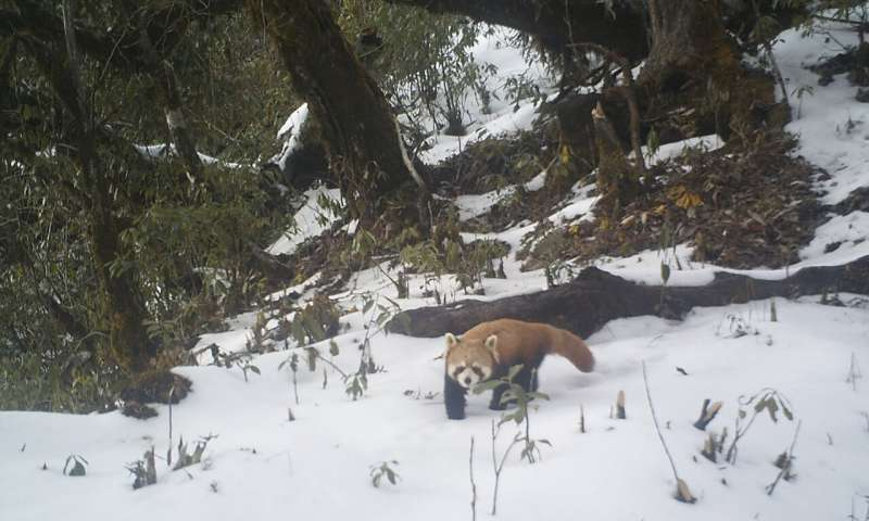 Red-listed red panda caught red-handed on camera