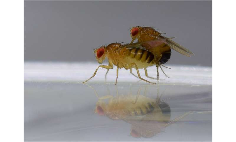 Reproduction: How male flies enforce their interests