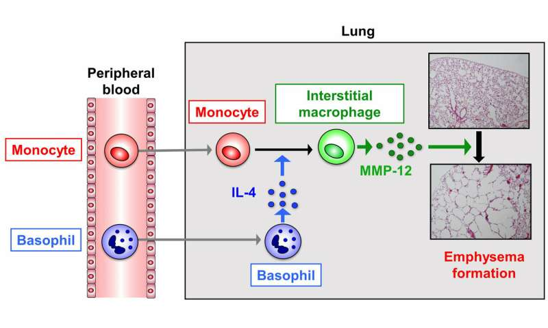 Researchers breathe new life into COPD research using mouse models