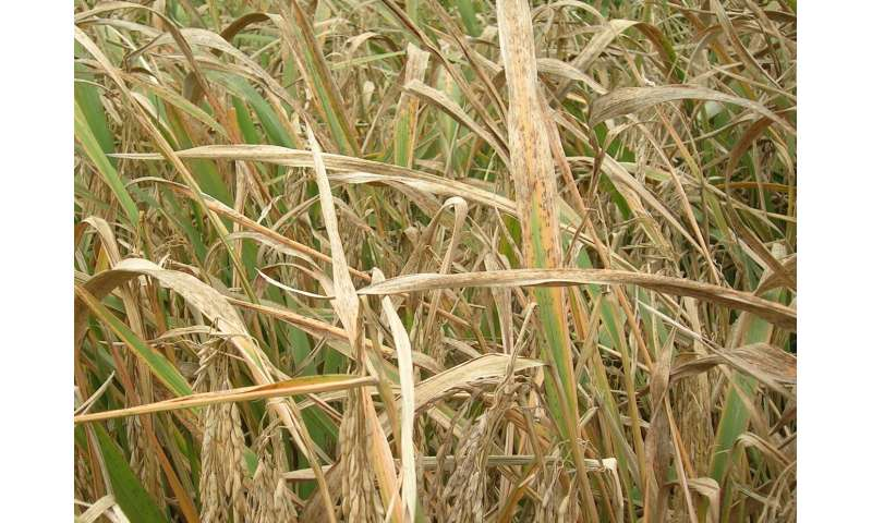 Rice blast fungus discovery will drive crop innovation