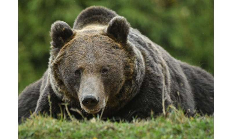 Romania has Europe's highest number of brown bears