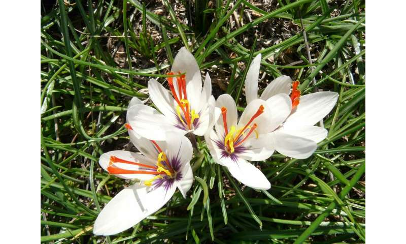 Saffron comes from Attica -- origin of the saffron crocus traced back to Greece