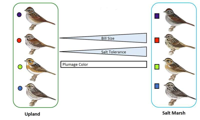Salt regulation among saltmarsh sparrows evolved in 4 unique ways